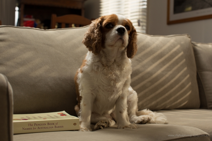 King Charles Cavalier dog sitting on a sofa beside a book of baby names.